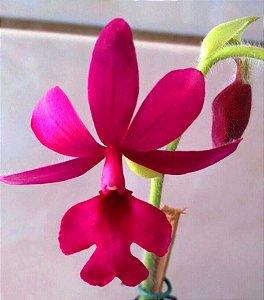 Orquídea Calante masuca - Adulta