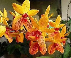 Orquídea Kagawara Sandy Gold