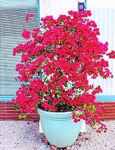 Primavera Bougainville de Flores Vermelhas Dobradas
