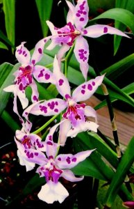 Orquídea Aliceara Peggy Ruth Carpenter