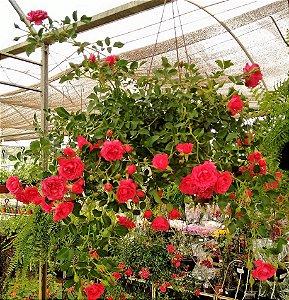 Rosa Pendente cor Pink Escuro p/ Vasos Suspensos