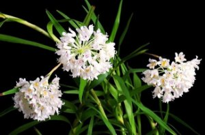 Orquídea Neobenthamia gracilis - Espécie Pura - Planta Adulta