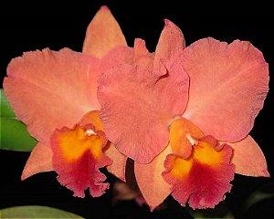 """Orquídea Cattleya Slc. Final Touch """"Mendenhall"""""""