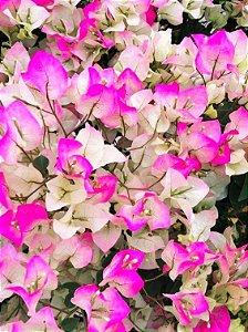 Primavera Bicolor Dobrada de Flores Brancas e Rosas