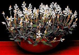 Orquídea Ludisia discolor