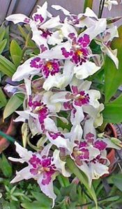 Orquídea Beallara Tahoma Glacier  - Adulta