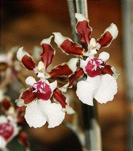 Orquídea Oncidium Sharry Baby Aureum