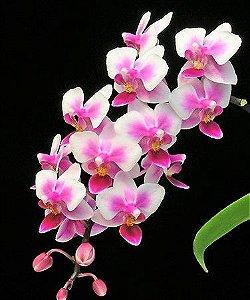 Orquídea Phalaenopsis Be Tris