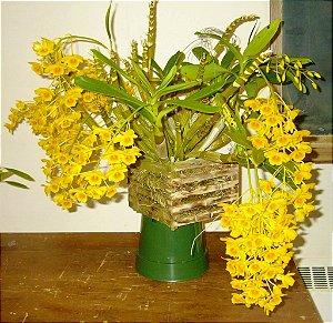 Orquídea Dendrobium chrysotoxum