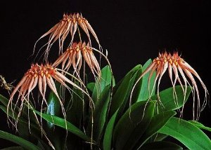 Orquídea Bulbophyllum Louis Sander - Adulta