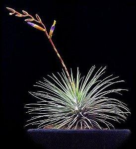Tillandsia Fuchsii - Air Plants
