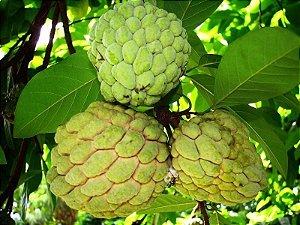 Pinha ou Ata ou Fruta do Conde ENXERTADA