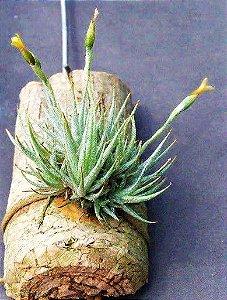 Mini Tillandsia Loliacea - Air Plants