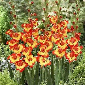 Gladíolo Alana - Amarelo c/ Bordas Vermelho Alaranjado - 5 Bulbos
