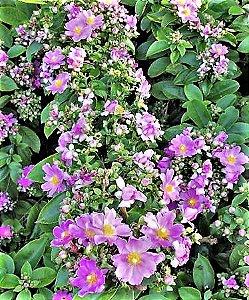 Ora-Pro-Nóbis de Flor Rosa - A Mais Vigorosa