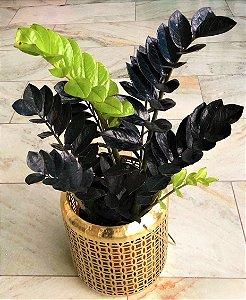 Zamia Black - Cor Negra Natural - Raridade