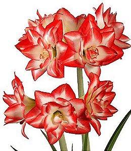 Amaryllis Blossom Bingo