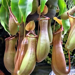 Nepenthes alata - Planta Carnívora