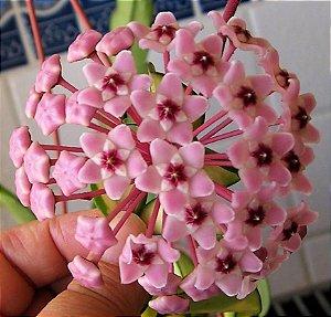 "Hoya carnosa ""krimson princess"" - Flor de cera"