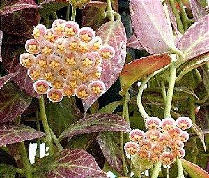 Hoya obscura - Flor de Cera