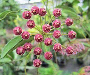 Hoya angustifolia - Flor de Cera