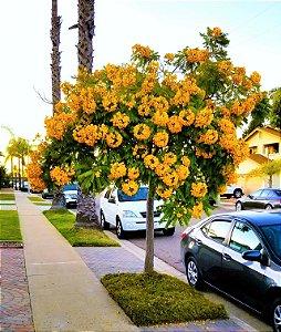 Falso-Barbatimão - Belíssima floração