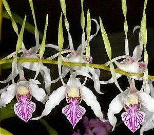 Orquídea Dendrobium antenatum