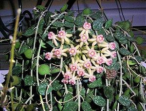 Hoya Curtisii - Flor de cera