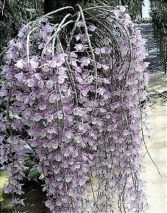 Dendrobium aphyllum - Adulto
