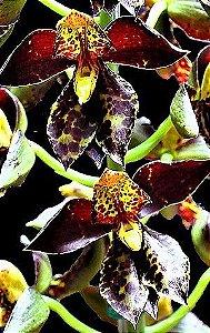 """Orquídea Catasetum rodigasianum """"Dark"""""""
