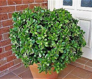 Planta-Jade ou Árvore da Felicidade - Suculenta