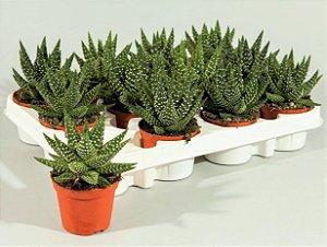 Planta-pérola - Suculenta