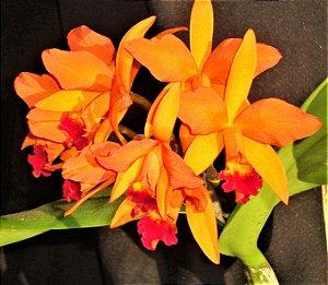 Orquidea Lc Fire Dance Blanche - Mudas