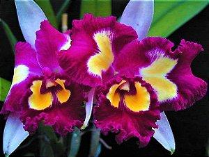 Orquidea Blc Chinese Beauty - Muda