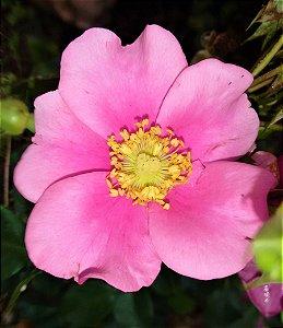 Rosa Trepadeira Cherokee cor ROSA de Pétalas Singelas  - Muda Enxertada - Raridade