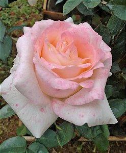 Roseira SEM ESPINHOS cor Rosa Laguna - Muda Enxertada