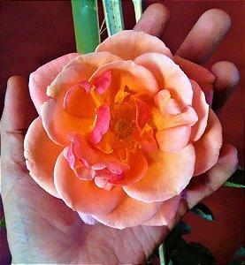 Rosa Trepadeira Salmão Flores Grandes