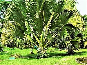 Palmeira Talipot - A Maior Folha do Mundo