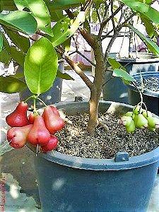 Jambo Rosado Doce, Sem Semente e Polpa Crocante - Muda Clonada - Produz em Vaso