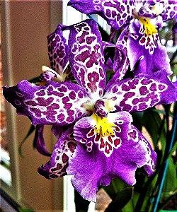 Orquídea Beallara Patricia Mccully - Muda