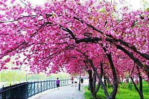 Cerejeira Japonesa Ornamental Okinawa Sakura Cor Rosa Escura