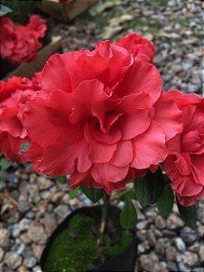 Azaleia Vermelha flor Dobrada