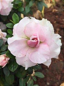 Azaleia cor Rosa Flor Dobrada