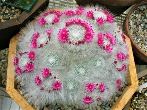Cacto Mammillaria bocasana
