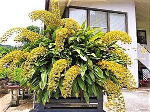 Orquídea de Mil Flores