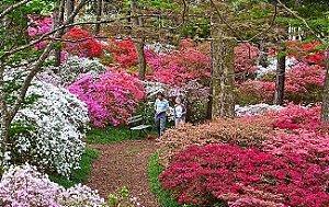 Kit c/ 2 mudas de Azaleias cor Branca e cor Pink