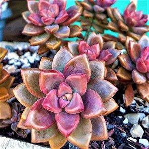 Planta Fantasma Bronze - Suculenta