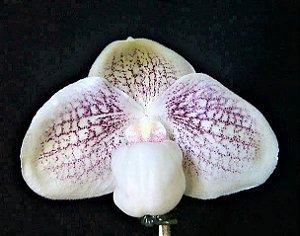 Orquídea Sapatinho Híbrida Paphiopedilum Greyi (godefroyae x niveum) x Hangianum - Raridade e Exótica