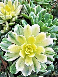 Rosa Verde Variegata - Suculenta
