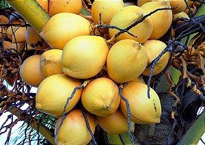 Kit c/ 2 Mudas de Coqueiros Anão - Coco Amarelo Malaio e Coco Verde Malaio